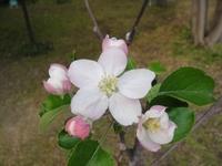 リンゴの花が開花