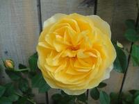 今年一番目のバラ