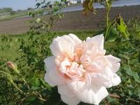 マダム・アルフレッド・カリエールの開花