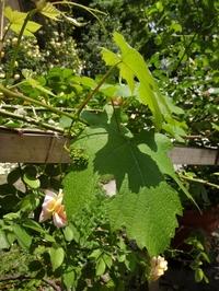小さなブドウの花芽