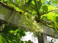 ブドウの開花