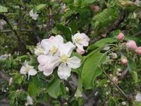 ヒメリンゴの開花