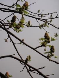 新芽が出始めたメープル