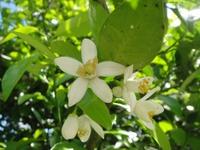夏みかんの真っ白な花