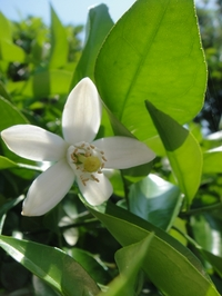 甘い香りの夏みかんの花