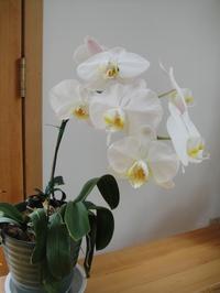 見事に咲いた胡蝶蘭