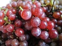 美しく色づいたブドウ