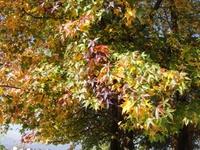 メープルの紅葉