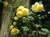 見ごろを迎えたバラたち