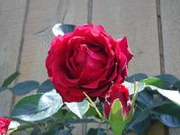 今年もバラが満開です